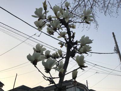 モクレンの花咲く